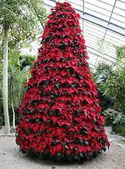 Christmas Tree made with Poinsettia plants